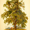 Vintage 1800s Color Illustration of an Ash Tree - FAMILIAR TREES.