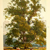 Vintage 1800s Color Illustration of a Wych Elm Tree - FAMILIAR TREES.