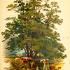 Vintage 1800s Color Illustration of an Alder Tree - FAMILIAR TREES.