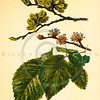 Vintage 1800s Color Illustration of Elm Fruit, Flowers, and Leaves - FAMILIAR TREES.
