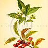 Vintage 1800s Color Illustration of Spindle-Tree Flowers and Berries - FAMILIAR TREES.