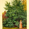 Vintage 1800s Color Illustration of Laurel Tree - FAMILIAR TREES.