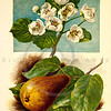 Vintage 1800s Color Illustration of a Pear Blossom - FAMILIAR TREES.