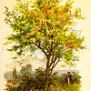 Vintage 1800s Color Illustration of a Spindle Tree - FAMILIAR TREES.