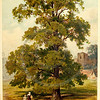 Vintage 1800s Color Illustration of an Elm Tree - FAMILIAR TREES.