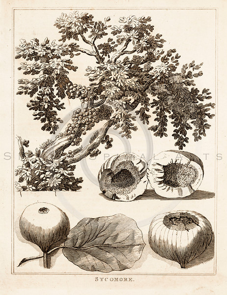 Vintage 1700s Sepia Illustration of Sycamore Tree - FRAGMENTS OF THE HOLY SCRIPTURES by Calmet.