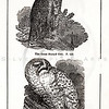 Vintage 1800s Black & White Illustration of Owls - HISTORY OF THE EARTH & ANIMATED NATURE by Oliver Goldsmith.