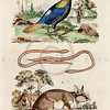 Vintage 1800s Color Illustration of Dormouse and Bird - DICTIONNAIRE PITTORESQUE D'HISTOIRE NATURELLE by F.E. Guerrin.