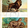 Vintage 1900S Color Illustration of Cheetah and Lion - FIVE HUNDRED FASCINATING ANIMAL STORIES by Alfred Miles.