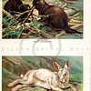 Vintage 1900S Color Illustration of Alpine Hare and Beavers - FIVE HUNDRED FASCINATING ANIMAL STORIES by Alfred Miles.
