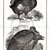 Vintage 1800s Black & White Illustration of Dodo and Sea Eagle - HISTORY OF THE EARTH & ANIMATED NATURE by Oliver Goldsmith.