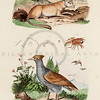 Vintage 1800s Color Illustration of Bird and Mammal - DICTIONNAIRE PITTORESQUE D'HISTOIRE NATURELLE by F.E. Guerrin.