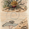 Vintage 1800s Color Illustration of Plant and Marine Life - DICTIONNAIRE PITTORESQUE D'HISTOIRE NATURELLE by F.E. Guerrin.