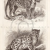 Vintage sepia illustration of panthers from Meyers Konversations Lexikon 1913 Encyclopedia.  Antique digital download of old print - panther; cat; feline; spots; leopard; animal; wild.  The natural age-toning, paper stains, and antique printing imperfections are preserved in this 1900s stock image.