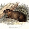 Vintage 1800s Color Illustration of a Tasmanian Wombat - LLOYD'S NATURAL HISTORY by Henry O. Forbes.  The natural patina, age-toning, imperfections, and old paper antiquing of this vintage 19th century illustration are preserved in this image.