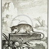 1700s Vintage French Color Illustration-- copper animal engraving from Buffon's Histoire Natural (BUFFON'S NATURAL HISTORY) by Jacques De Seve in Paris, France  (1760)