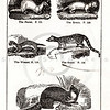 Vintage 1800s Black & White Illustration of Ferret, Ermine, Weazel, Genet, and Pine Marten - HISTORY OF THE EARTH & ANIMATED NATURE by Oliver Goldsmith.