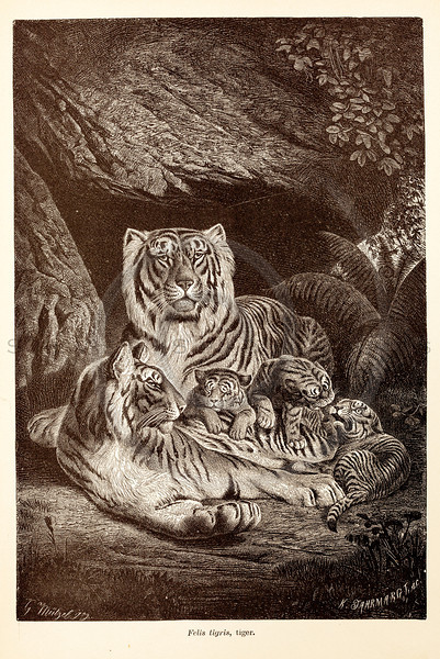 Vintage 1800s Sepia Illustration of Wild Tigers with Cubs - ANIMATED CREATIONS, J.G. Wood.