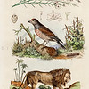 Vintage 1800s Color Illustration of Bird and Lion - DICTIONNAIRE PITTORESQUE D'HISTOIRE NATURELLE by F.E. Guerrin.