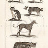 Vintage Illustration of Dogs and Cats from History of the Earth and Illustrated Nature by Oliver Goldsmith, 1850 .  Antique digital download of old print - dog, cat, wild dog, wild cat, domestic, domestic dog, house, house cat, greyhound, animal, animals, nature, wild.  The natural age-toning, paper stains, and antique printing imperfections are preserved in this 1800s stock image.