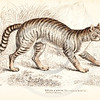 Vintage 1800s Color Illustration of a Wild Cat from THE NATURALIST'S LIBRARY by William Jardine.  The natural patina, age-toning, imperfections, and old paper antiquing of this vintage 19th century illustration are preserved in this image.