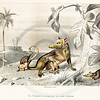 Vintage Color 1800s Animal Illustration-- Hand colored lithograph from HISTOIRE NATURELLE DES MAMMIFERES (NATUIRAL HISTORY OF MAMMALS) by Buffon in Paris France in c1840
