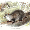 Vintage 1800s Color Illustration of Azara's Opossum - LLOYD'S NATURAL HISTORY by Henry O. Forbes.  The natural patina, age-toning, imperfections, and old paper antiquing of this vintage 19th century illustration are preserved in this image.