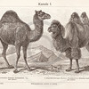 Vintage sepia illustration of camels from Meyers Konversations Lexikon 1913 Encyclopedia.  Antique digital download of old print - camels; camel; animal; wooly; mammal.  The natural age-toning, paper stains, and antique printing imperfections are preserved in this 1900s stock image.