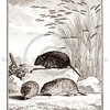 Vintage 1700s Sepia Animal Illustration of a Vole from HISTOIRE NATURELLE by Compte de Buffon.  The natural patina, age-toning, imperfections, and old paper antiquing of this vintage 18th century illustration are preserved in this image.