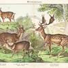 Vintage illustration of deers and bucks from Naturgeschichte des Tierreichs für Schule und Haus by Schubert, 1886.  Antique digital download of old print - deer, buck, deers, bucks, animal, animals, nature, wild, color.  The natural age-toning, paper stains, and antique printing imperfections are preserved in this 1800s stock image.