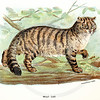 Vintage 1800s Color Illustration of a Wild Cat - LLOYD'S NATURAL HISTORY by Henry O. Forbes.  The natural patina, age-toning, imperfections, and old paper antiquing of this vintage 19th century illustration are preserved in this image.
