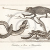 Vintage Illustration of Chameleon and Salamander from the American Edition of the British Encyclopedia, 1817.  Antique digital download of old print - chameleon, salamander, reptile, encyclopedia, encyclopedic.  The natural age-toning, paper stains, and antique printing imperfections are preserved in this 1800s stock image.