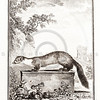 Vintage 1700s Sepia Animal Illustration of a Marten from HISTOIRE NATURELLE by Compte de Buffon.  The natural patina, age-toning, imperfections, and old paper antiquing of this vintage 18th century illustration are preserved in this image.