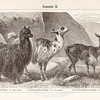 Vintage sepia illustration of Camels from Meyers Konversations Lexikon 1913 Encyclopedia.  Antique digital download of old print - camels; camel; animal; wild; mammal; wooly; wool.  The natural age-toning, paper stains, and antique printing imperfections are preserved in this 1900s stock image.