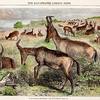 Vintage 1800s Color Illustration of Antelope.