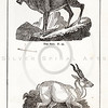 Vintage 1800s Black & White Illustration of Ibex and Antelope - HISTORY OF THE EARTH & ANIMATED NATURE by Oliver Goldsmith.