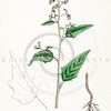 Vintage 1800s Color Illustration of Goosefoot from ENGLISH BOTANY by John Sowerby.  The natural patina, age-toning, imperfections, and old paper antiquing of this vintage 19th century illustration are preserved in this image.