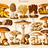Vintage illustration of Mushrooms from Meyers Konversations Lexikon 1913 Encyclopedia.  Antique digital download of old print - fungus; fungi; mushrooms; mushroom; plants; plant; nature; flora; botanical; botany.  The natural age-toning, paper stains, and antique printing imperfections are preserved in this 1900s stock image.