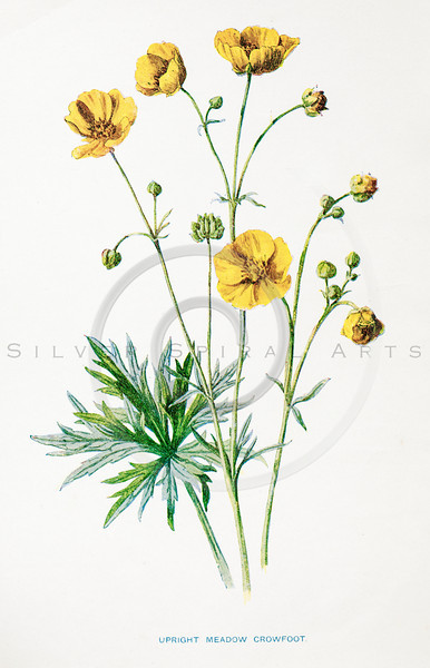 Vintage 1900s Color Lithograph Illustration of Meadow Crowfoot Flower from FAMILIAR WILD FLOWERS by F.E. Hulme.  The natural patina, age-toning, imperfections, and old paper antiquing of this vintage 19th century illustration are preserved in this image.