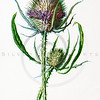 Vintage 1900s Color Lithograph Illustration of Teasel Flower from FAMILIAR WILD FLOWERS by F.E. Hulme.  The natural patina, age-toning, imperfections, and old paper antiquing of this vintage 19th century illustration are preserved in this image.