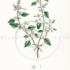 Vintage 1800s Color Illustration of Goosefoot from ENGLISH BOTAN