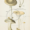1800s Vintage Color Illustration of mushrooms-- colored lithograph from ATLAS DES CHAMIGNONS COMESTIBLES ET VENENEUX (Atlas of Edible & Poisonous Mushrooms), by L. Dufourin Paris, France in 1891