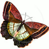 Vintage Red Brown Butterfly Illustration - 1800s Butterflies.