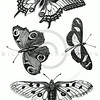 Vintage Black and White Butterfly Illustration - 1800s Butterflies.