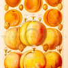 Vintage illustration of Peaches and Apricots from Meyers Konversations Lexikon 1913 Encyclopedia.  Antique digital download of old print - peach; orange; apricot; food; fruit; produce; nature; botany.  The natural age-toning, paper stains, and antique printing imperfections are preserved in this 1900s stock image.