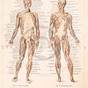 Vintage illustration of human body anatomy from Meyers Konversations Lexikon 1913 Encyclopedia.  Antique digital download of old print - anatomy; human; medical; body; muscle; diagram; bones; nerves.  The natural age-toning, paper stains, and antique printing imperfections are preserved in this 1900s stock image.