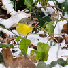 Nashville Warbler 25 January 2013