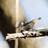 White-breasted Nuthatch<br /> February 2013