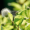 Common Buttonbush
