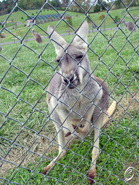 Kangaroo I was framed
